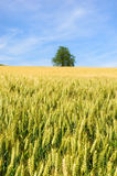 Grain in the fields Stock Photography