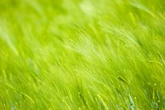 Grain filed. Filed of grain (background royalty free stock photography