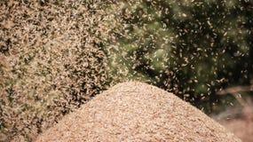 Grain flies. Stock Image