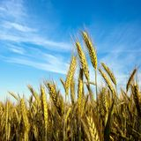 Grain in front of sky Royalty Free Stock Photography