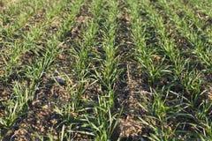 Grain. Germinating grain in regulars strips on the field Stock Photo