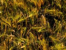 Grain. Golden grain in western Sichuan Stock Images