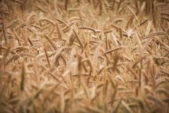 Grain, Grass Family, Food Grain, Rye royalty free stock photography