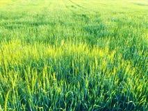Grain, fertility and light in the countryside. Grain, grass, fertility, abundance, light, field, prosperity, sunny day, farm, plantation, nature, peace and royalty free stock photography