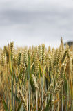 Grain grass field. Close up of a cereal or grain grass in a field stock images