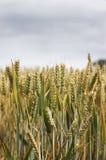 Grain grass field Stock Images