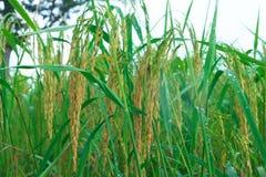 Grain growing up. Crop seed rice farm drop water yellow green Stock Photos