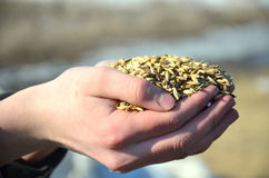 Grain hands Royalty Free Stock Photography
