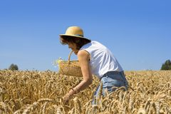 Grain harvest. Young woman in a grain field with a basket Royalty Free Stock Image