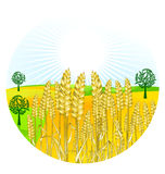 Grain harvest. Agriculture natural field Stock Photo