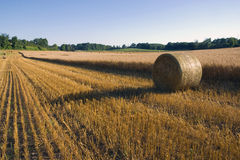 Grain Harvest. Rows of cut grain and bales next to the ready to harvest grain Royalty Free Stock Photos