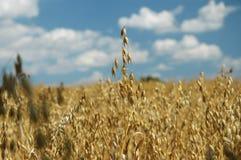 Grain before harvest Stock Images