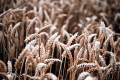 Grain harvest in autumn Royalty Free Stock Photography