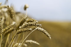 Grain harvest Royalty Free Stock Image