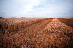 Grain harvest Royalty Free Stock Photos