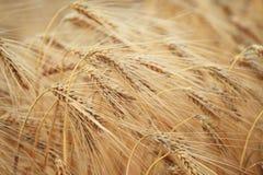 Grain harvest Stock Photos