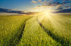 Grain harvest in the field on the rising sun background. Sunset over farmland Royalty Free Stock Photo