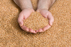 Grain Harvest Royalty Free Stock Images