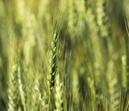 Grain head of wheat plant against field background Stock Image