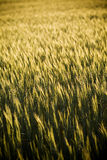 Grain Heads Closeup. Heads of golden grain stretch out in fields at sunset stock images