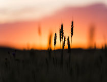 Grain heads of wheat plant silhouetted against sunset Royalty Free Stock Images