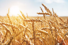 Free Grain In A Farm Field And Sun Stock Image - 13104291