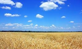 Grain jaune prêt pour l'élevage de récolte Photo libre de droits