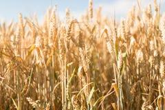 Grain jaune prêt pour l'élevage de récolte Photographie stock