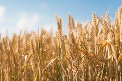 Grain jaune prêt pour l'élevage de récolte Photographie stock libre de droits