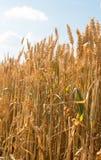Grain jaune prêt pour l'élevage de récolte Photo stock