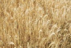 Grain jaune prêt pour l'élevage de récolte Image stock