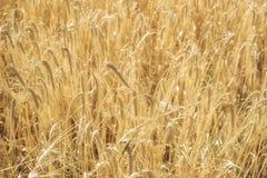 Grain jaune prêt pour l'élevage de récolte Images libres de droits
