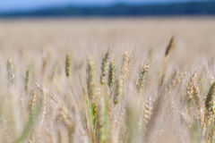 Grain jaune prêt pour la récolte Photographie stock libre de droits