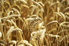 Grain jaune prêt pour la récolte dans un terrain de ferme Photo stock