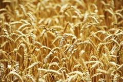 Grain jaune prêt pour la récolte dans un terrain de ferme Photos stock