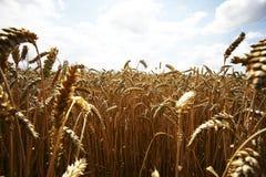 Grain jaune prêt pour la récolte dans un terrain de ferme Photographie stock libre de droits
