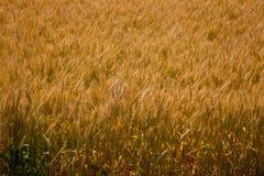 Grain jaune sur la texture de culture de plein champ de tige Photographie stock libre de droits