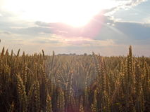 Grain. Landscape of grain fields bathed in sunlight stock photo