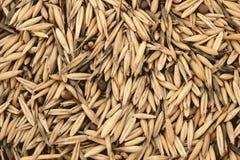 Grain oats Royalty Free Stock Photos