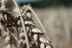 Grain. Photo about Detail of grain Stock Image