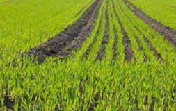 Grain plants Stock Photography