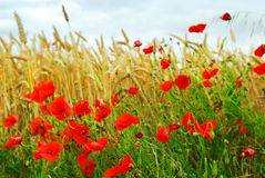 Grain and poppy field Stock Photos