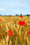 Grain and poppy field royalty free stock photos