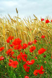 Grain and poppy field stock photography