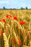 Grain and poppy field Royalty Free Stock Photo