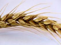 Grain prêt à être récolte Image libre de droits