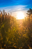 Grain. Retracting the way in grain at sunset Royalty Free Stock Images
