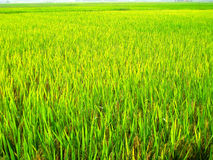 Grain. rice fields in Asia Stock Photography
