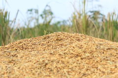 Grain. Rice that has been separated from its trunk Royalty Free Stock Image