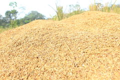 Grain. Rice that has been separated from its trunk Stock Photo